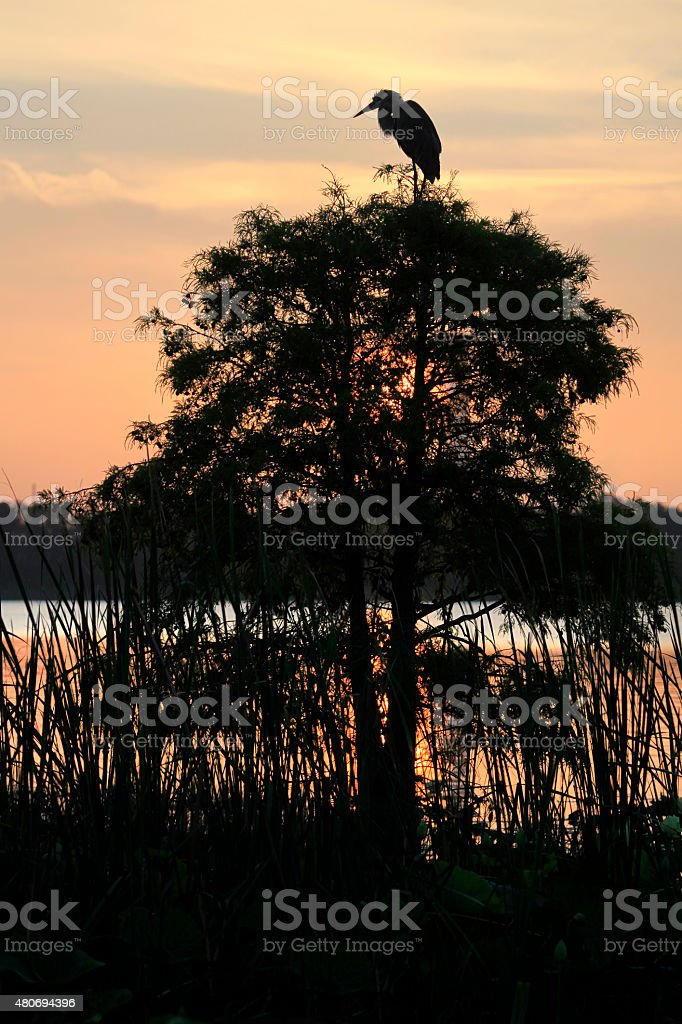 Silhouette of Great Blue Heron on Cypress Tree at Sunrise stock photo