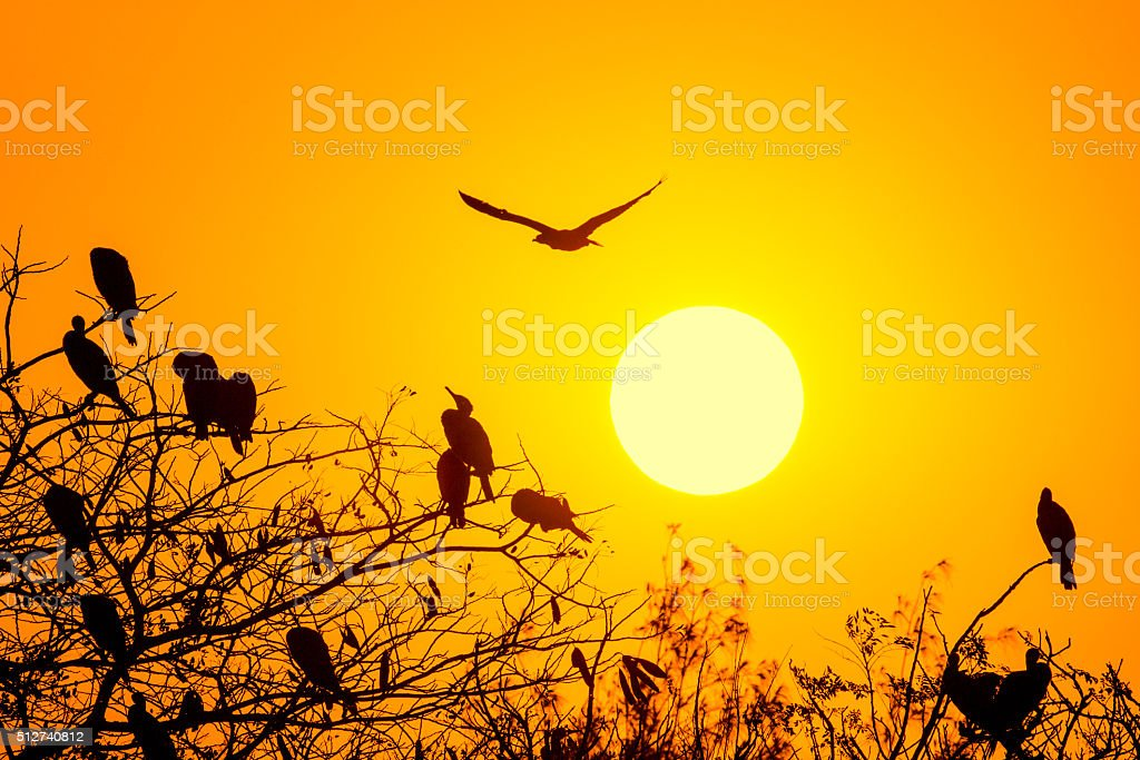 Silhouette Of Great Cormorant with Rising Sun stock photo