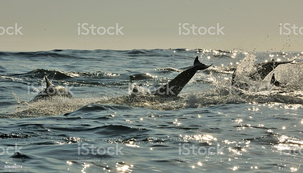 Silhouette of Jumping Dolphins stock photo