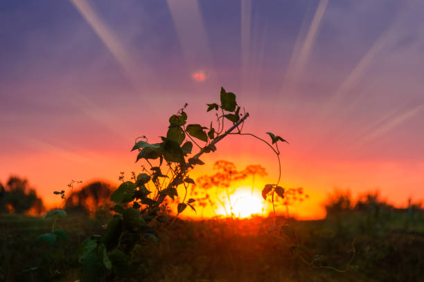 Silhouette of kidney bean plant among other vegetation at sunset stock photo