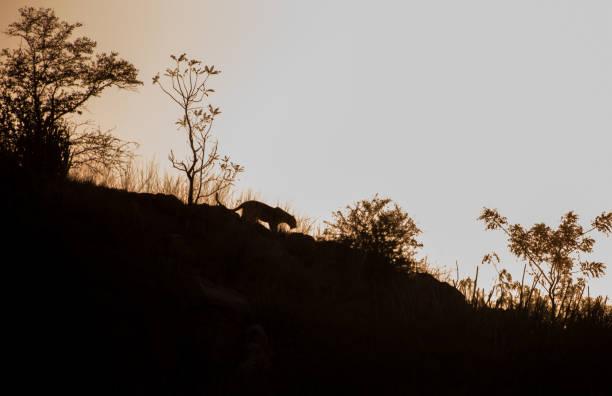 Silhouette of leopard picture id939260826?b=1&k=6&m=939260826&s=612x612&w=0&h=7yxkebw xqsu26uebav dbbqzmaooz9ih4fauhsjxle=