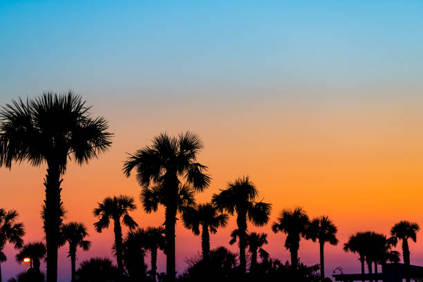 Silhouette of palm trees and leaves in sky in Siesta Key, Sarasota, Florida with orange blue colors at beach parking lot stock photo