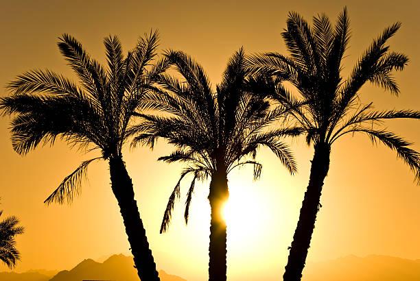 Silhouette von Palmen – Foto