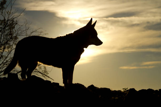 Silhouette of Pointy Ear Dog at Sunset stock photo