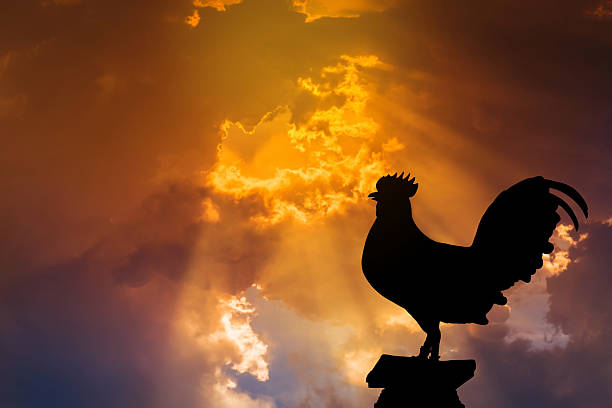 silhouette of rooster crow stand on in the early morning - coq photos et images de collection