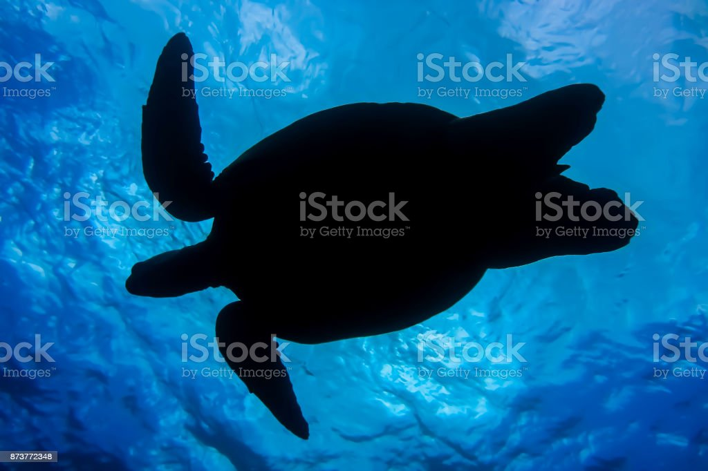 Silhouette of Sea Turtle Shot from Below stock photo