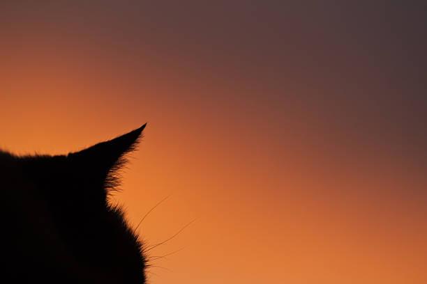Silhouette of siamese cat watching sunset from window picture id485907848?b=1&k=6&m=485907848&s=612x612&w=0&h=g5y7hpn6sv8mtjqbvghezxwd2p6phjgiiac2tezsjhw=