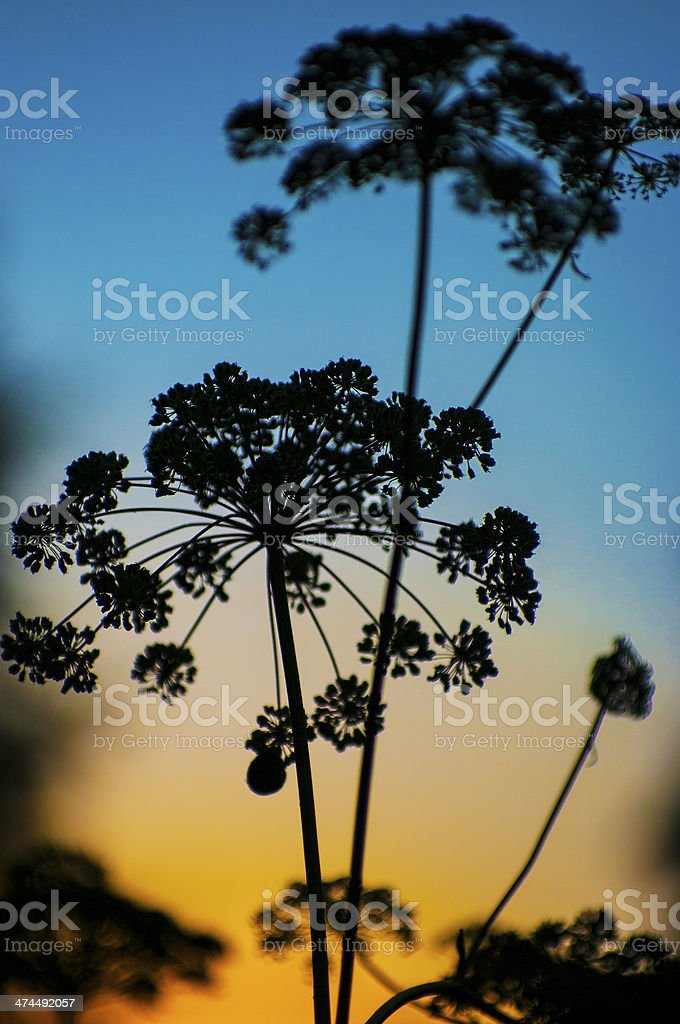 Silhouette of single chervil-Anthriscus cerefolium on blue yellow background stock photo