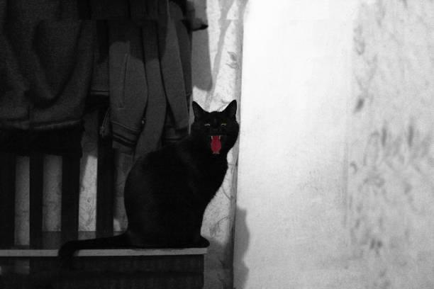 silhouette der gruselige schwarze katze in der halloween-nacht, schwarz und weiß - freitag der 13 stock-fotos und bilder
