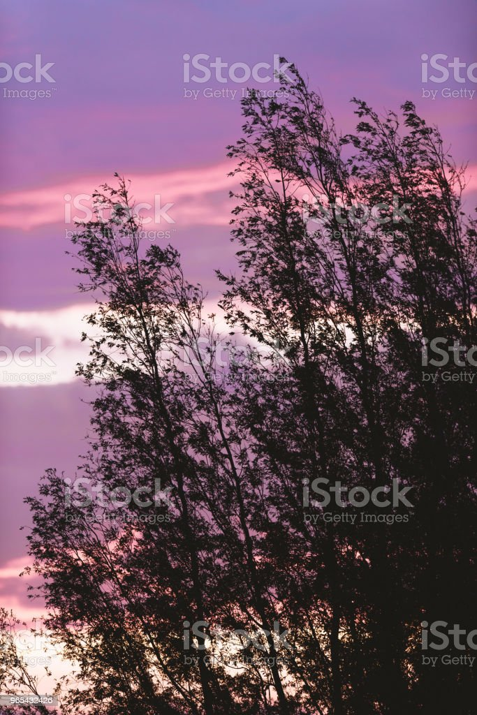 Silhouette of spring trees in the wind against purple sunset sky. royalty-free stock photo
