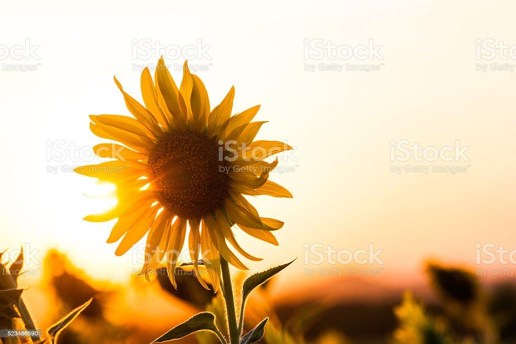 silhouette of sunflowers stock photo