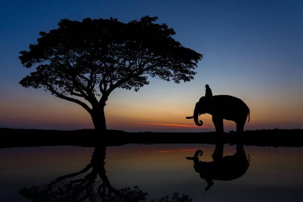 silhouette des elefanten in thailand unter einem baum. - elefanten umriss stock-fotos und bilder