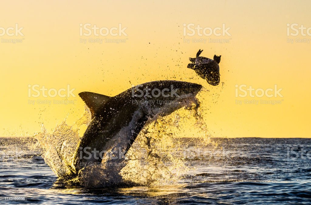 Silhouette Of The Jumping Great White Shark Stock Photo