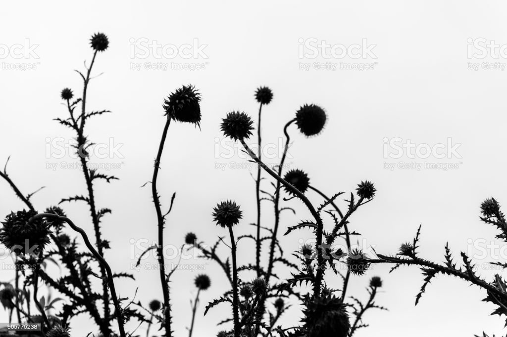 Silhouette of thistle plants against a white sky - Royalty-free Beauty In Nature Stock Photo