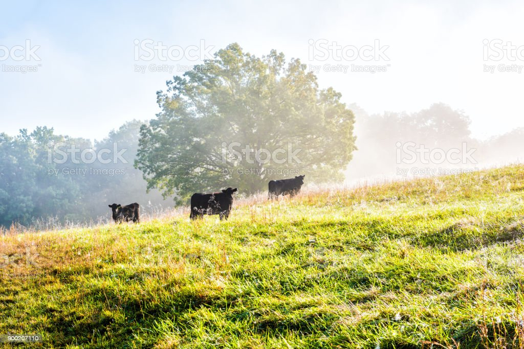 Silhouette of three black cows on hill of farm grazing on pasture in fog and mist with blue sky, trees, grass, morning sunlight stock photo