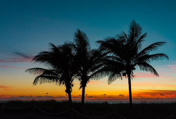 silhouette of three palm trees on the beach at sunrise stock photo