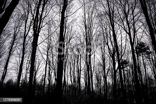 Silhouette of trees and branches in a English woodland during winter