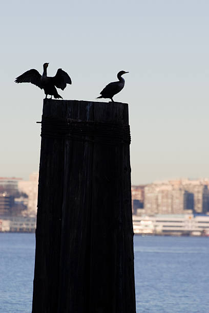 Silhouette of Two Birds on a Pier stock photo
