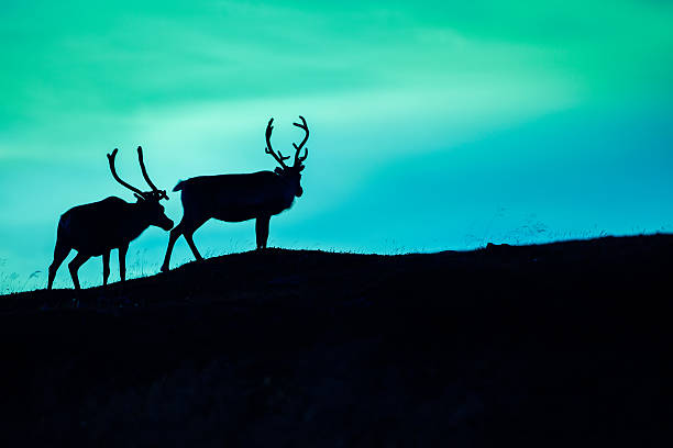 silhouette of two deer - nordkap stock-fotos und bilder