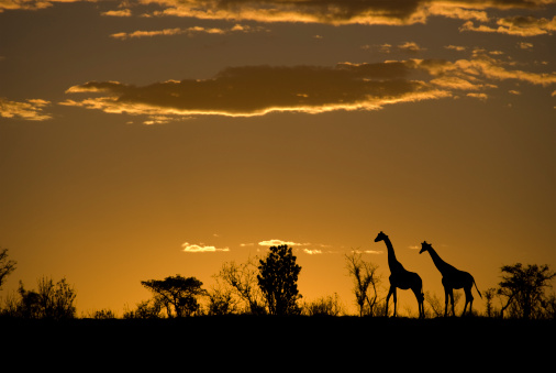 Two giraffes in silhouette and some bushes  on the horizon against a red and orange sunset in Africa.