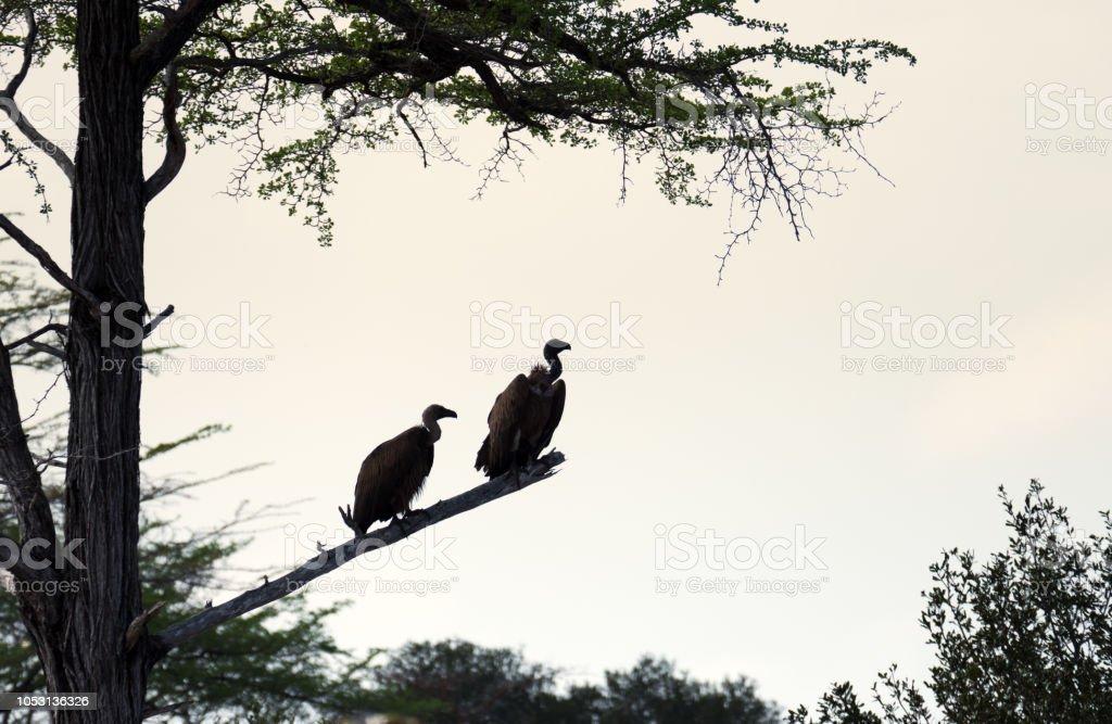 Silhouette de deux vautours à dos blanc (Gyps africanus) perché sur une branche de l'arbre acacia - Photo
