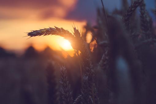 Silhouette of wheat ears in warm sunset light. Natural light back lit. Beautiful sun flares bokeh