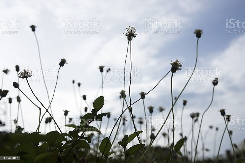 Silhouette of Wild Flowers Background royalty-free stock photo