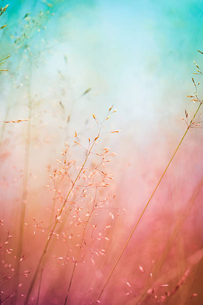 silhouette of wildflowers in meadow during sunrise or sunset - saturated color stock pictures, royalty-free photos & images