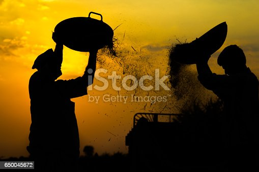 Men winnowing paddy rice during harvest season. Rural life seen near Hubli. Silhouette of working men during sunset time.