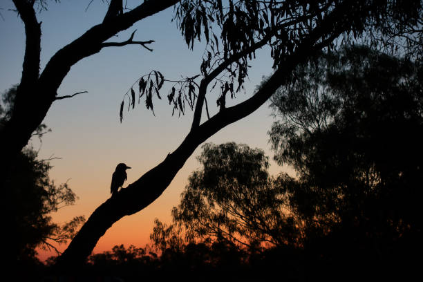 Silhouette of young magpie in tree during sunset at Old Cork in rural Queensland stock photo