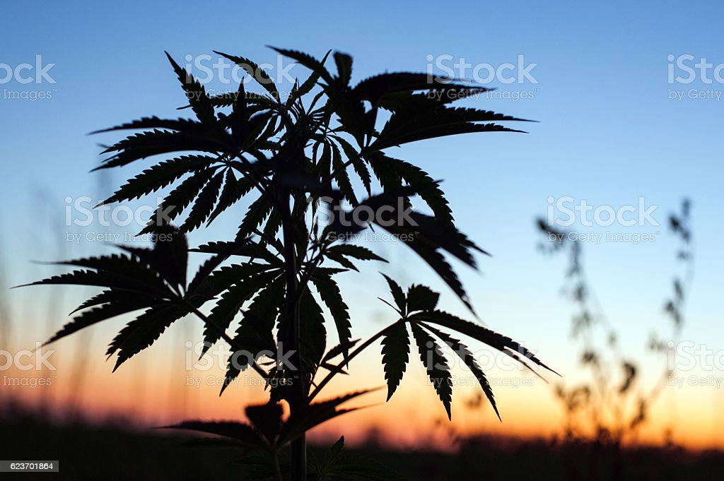 silhouette outdoor cannabis cultivation stock photo