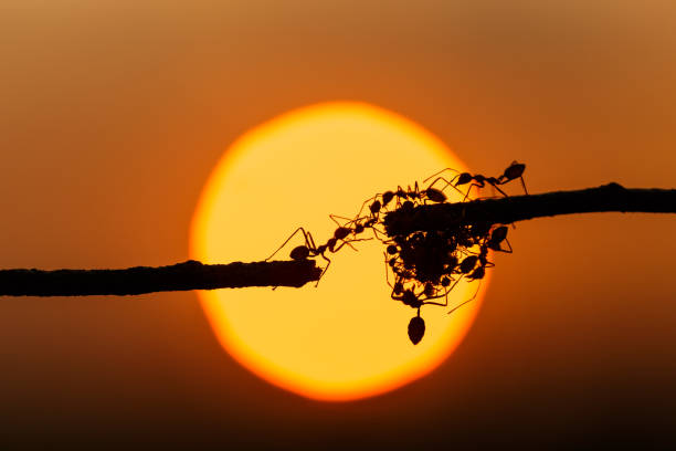 silhouette red ant walking on tree branch and sunset background - ants working together stock photos and pictures