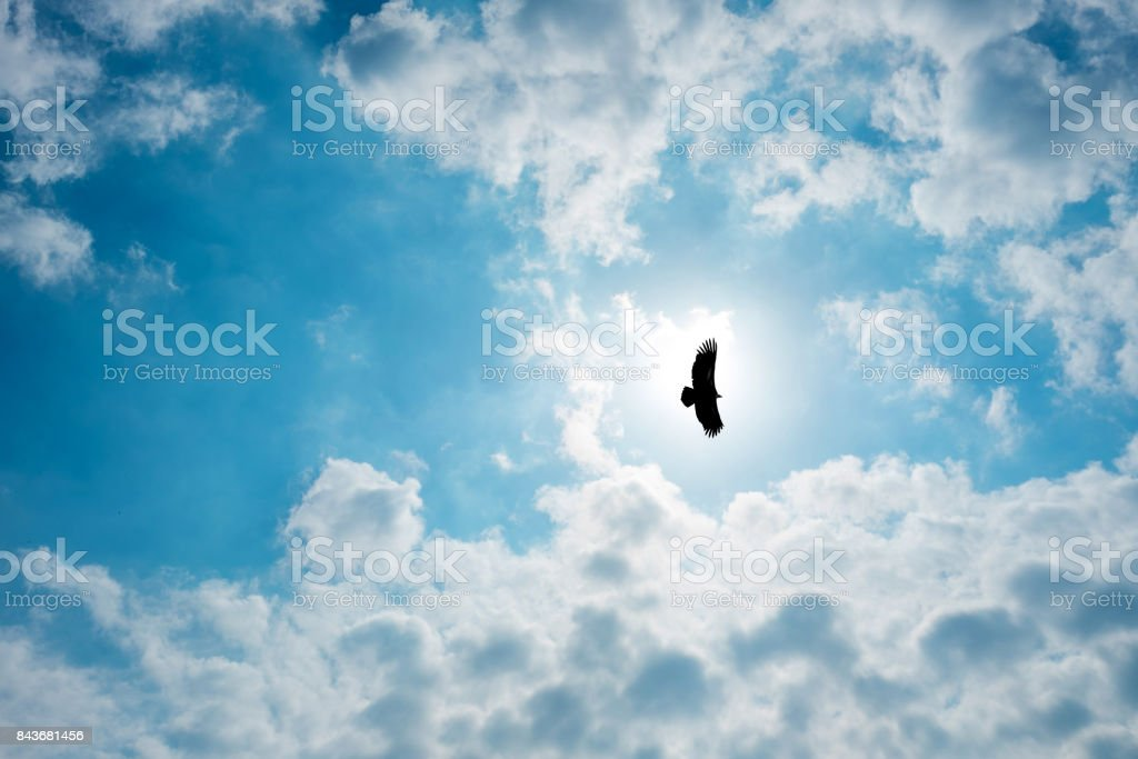 Silhouette Steppe eagle flying in cloudy sky stock photo
