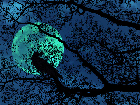 silhouette tree branches and black crows over dark blue dramatic sky for Halloween background.