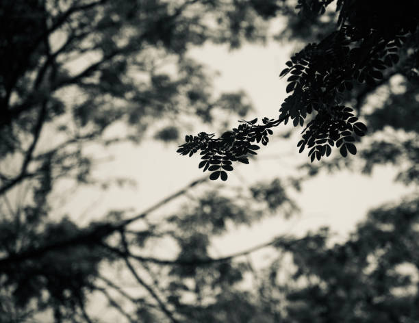 Silhouette tree leaves unique black and white photo stock photo