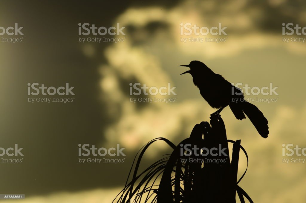 Silhouetted Boat-tailed Grackle calling from palm tree stock photo