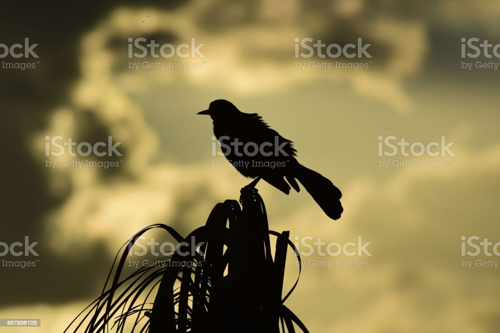 Silhouetted Boat-tailed Grackle looking out from palm tree top stock photo