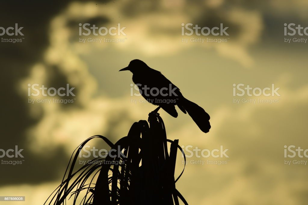 Silhouetted Boat-tailed Grackle perched at top of palm tree stock photo