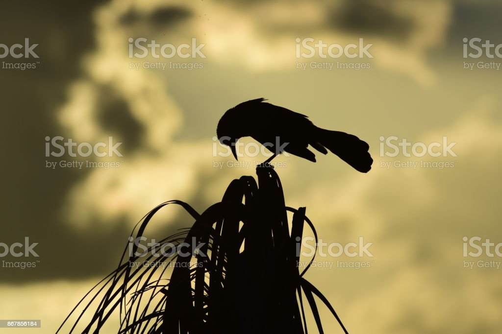 Silhouetted Boat-tailed Grackle with head pointed down at top of palm tree stock photo