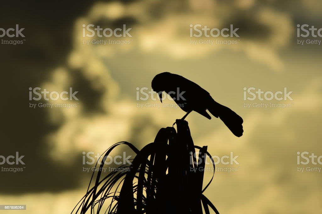 Silhouetted Boat-tailed Grackle With head turned doan at top of palm tree stock photo