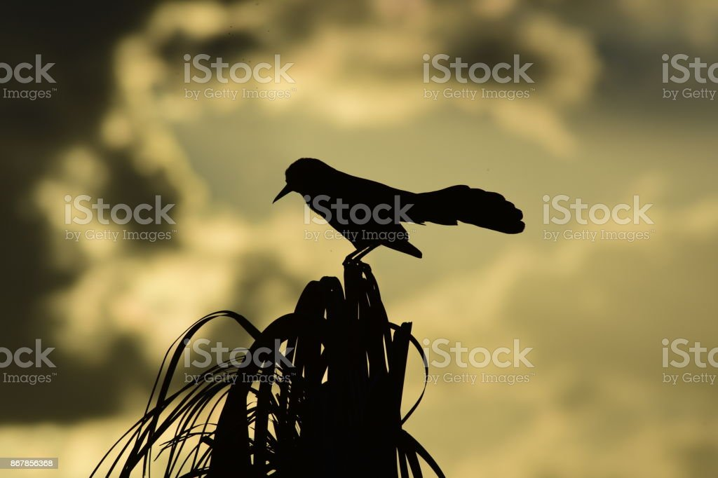 Silhouetted Boat-tailed Grackle with spread tail stock photo