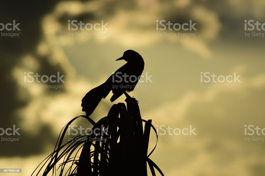 Silhouetted Boat-tailed looking back from palm tree top stock photo
