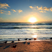 Silhouetted group of seagulls on sandy beach over colorful sunset in Sarasota, Florida
