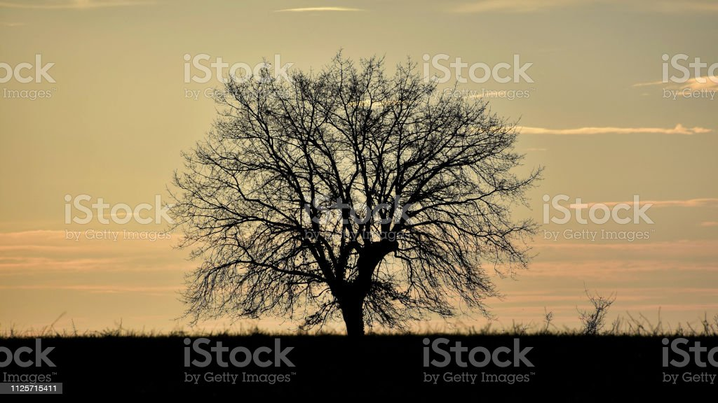 Silhouetted oak tree stock photo
