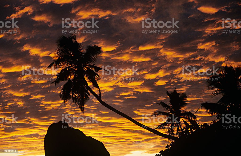 Silhouetted palm tree at sunrise royalty-free 스톡 사진