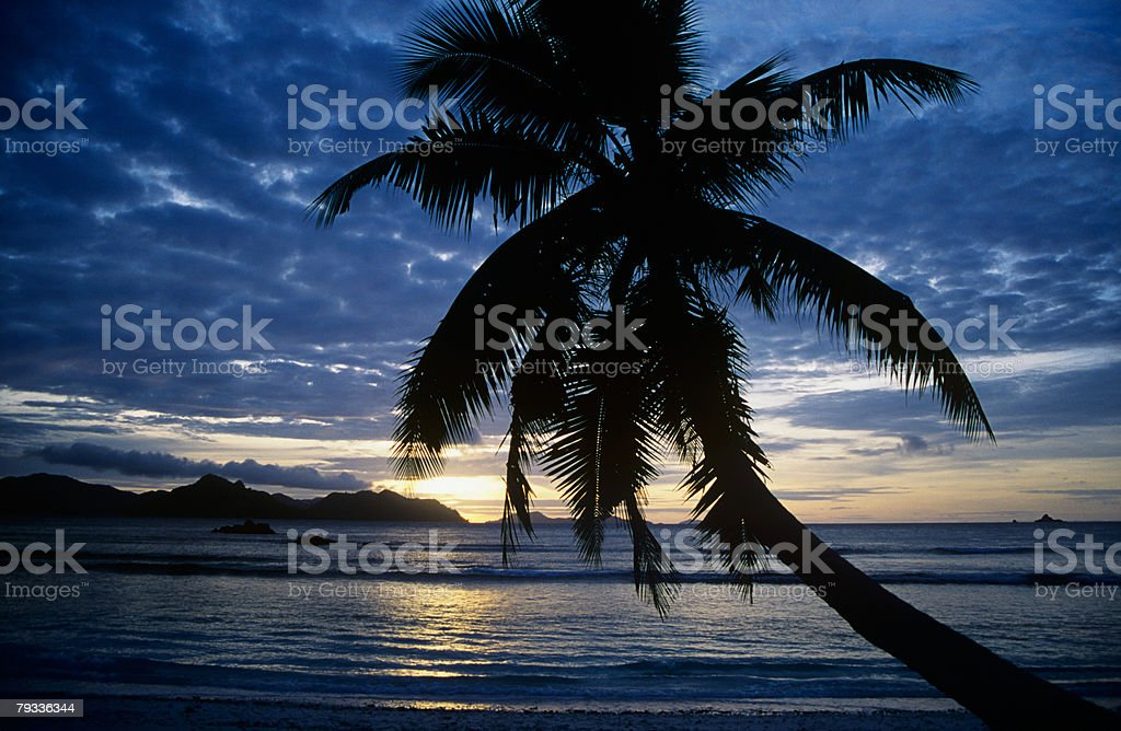 Silhouetted palm tree at sunset 免版稅 stock photo