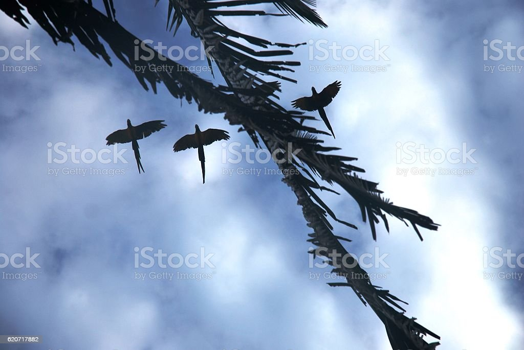 Silhouetted parrots flying overhead stock photo