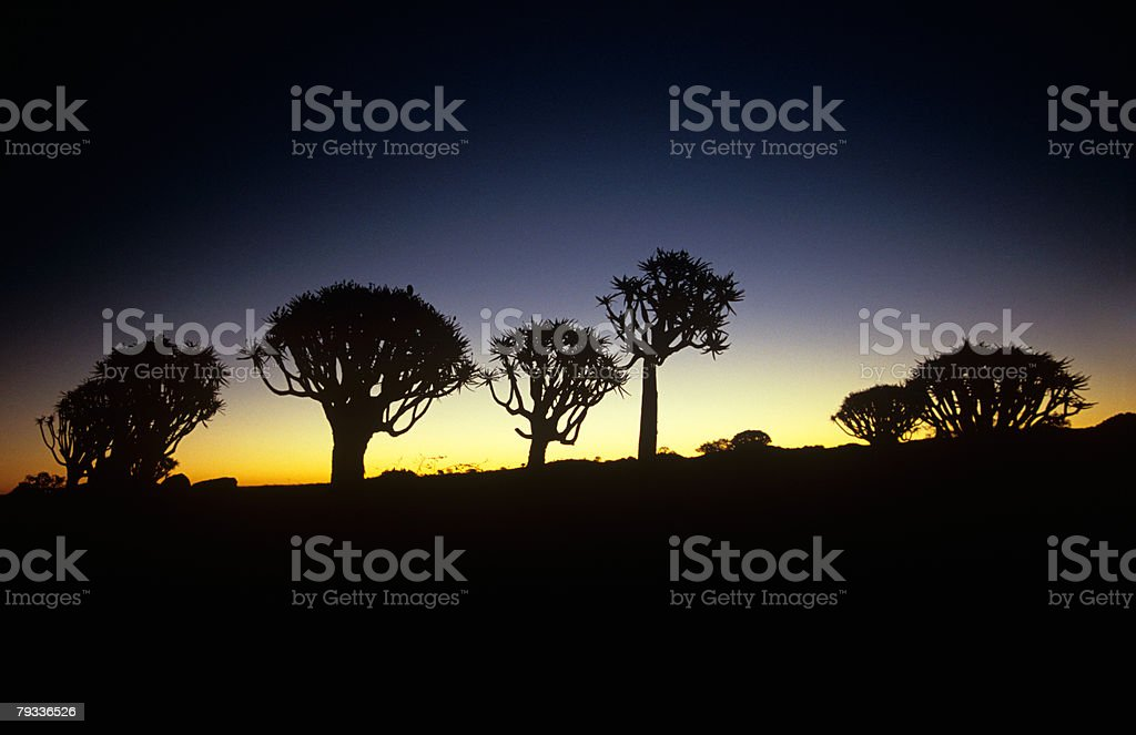 Silhouetted quiver trees royalty-free 스톡 사진