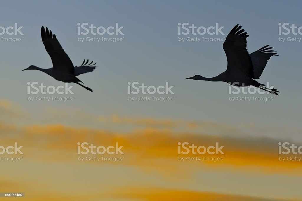 Silhouetted Sandhill Cranes (Grus Canadensis) in Flight at Sunrise royalty-free stock photo