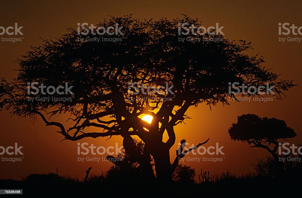 Silhouetted tree at sunset 免版稅 stock photo